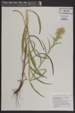 Image of Oligoneuron riddellii
