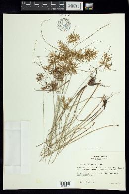 Image of Cyperus camphoratus