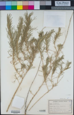 Artemisia californica image