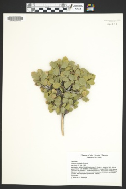 Quercus turbinella image