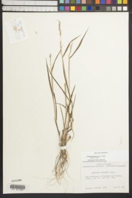 Image of Elymus macrourus