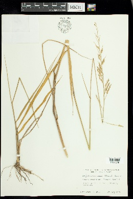 Eriochloa michauxii image