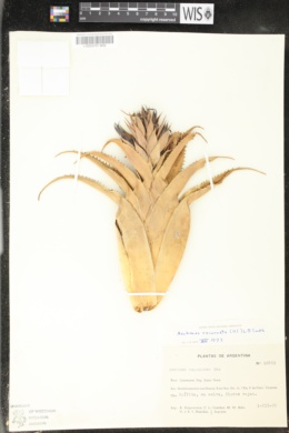 Image of Aechmea recurvata