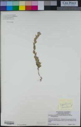 Epilobium densiflorum image