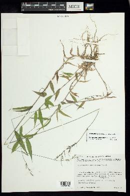 Image of Oplismenus compositus