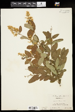 Image of Ligustrum henryi
