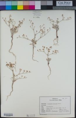 Eriogonum vestitum image