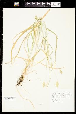 Image of Phalaris coerulescens