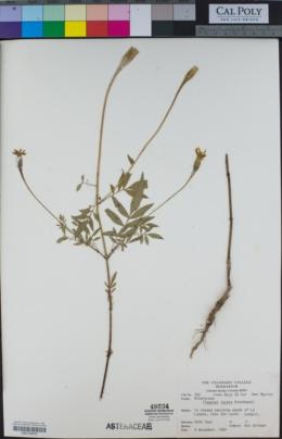 Image of Tagetes lacera