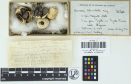 Agaricus columellatus image