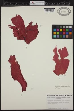 Halymenia californica image