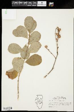 Image of Exochorda racemosa