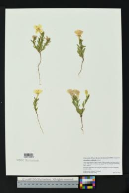 Calylophus tubicula image