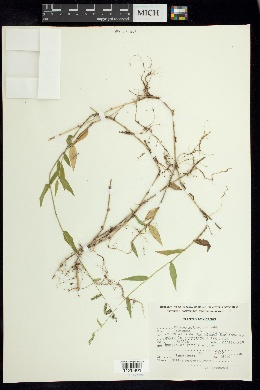 Panicum pulchellum image