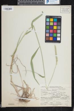 Elymus glaucus var. glaucus image