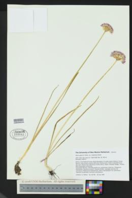 Allium geyeri var. chatterleyi image
