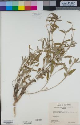 Croton californicus image