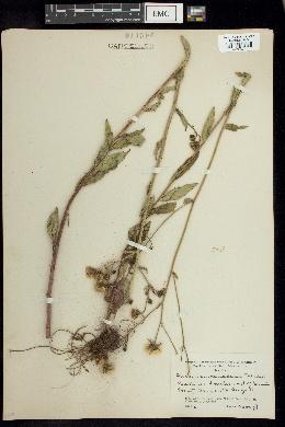 Image of Hieracium canadense