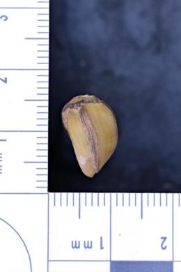 Image of Villosa trabalis