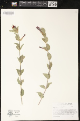 Cuphea llavea image