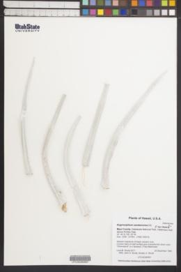 Image of Argyroxiphium sandwicense