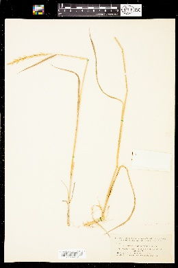 Image of Elymus x pseudorepens