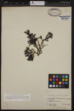 Hesperophycus californicus image