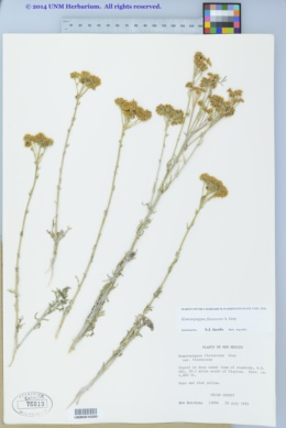 Hymenopappus flavescens image