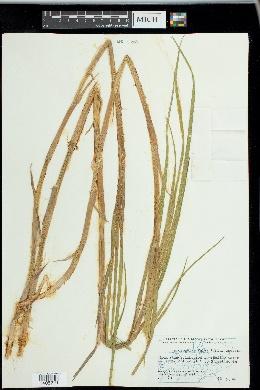 Arctophila fulva image