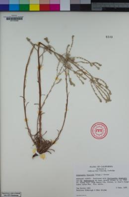 Cryptantha flaccida image