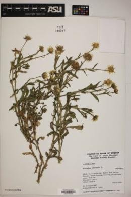 Calendula officinalis image
