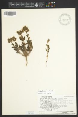 Phacelia rafaelensis image