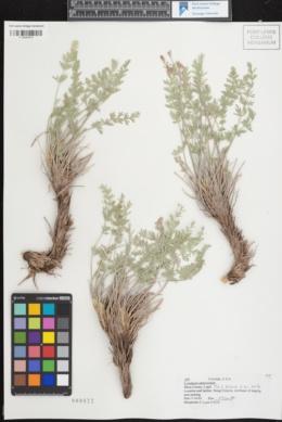 Image of Lomatium eastwoodiae
