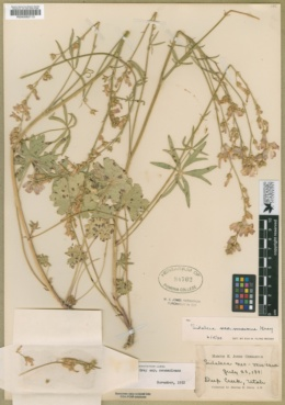 Sidalcea neomexicana subsp. neomexicana image