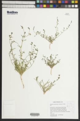 Allophyllum gilioides subsp. violaceum image
