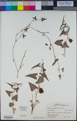 Aristolochia watsonii image