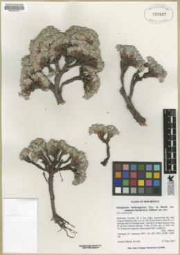 Eriogonum lachnogynum image