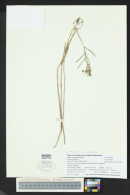 Phemeranthus aurantiacus image