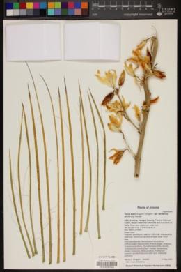 Yucca elata var. verdiensis image