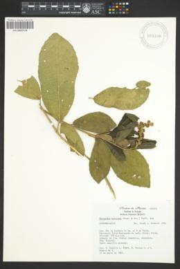 Bernardia mexicana image