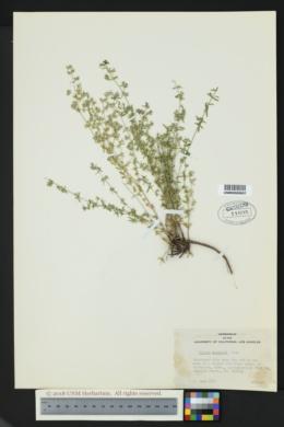 Galium fendleri image