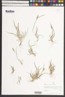 Image of Muhlenbergia monandra