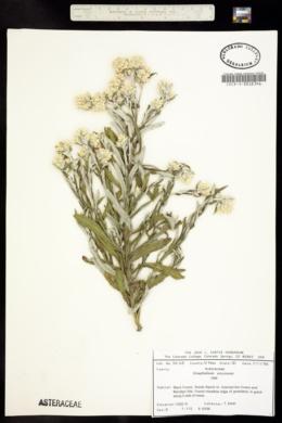 Pseudognaphalium viscosum image
