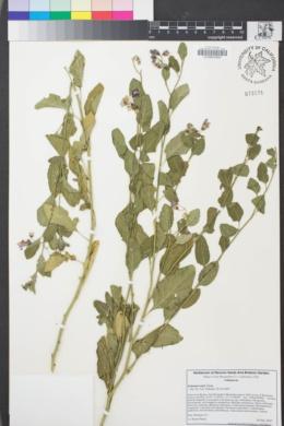 Image of Solanum xanti