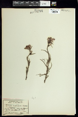 Image of Castilleja purpurea