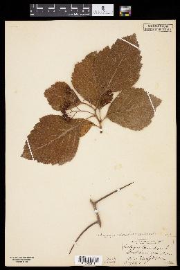 Crataegus calpodendron image