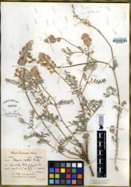 Astragalus sepultipes image