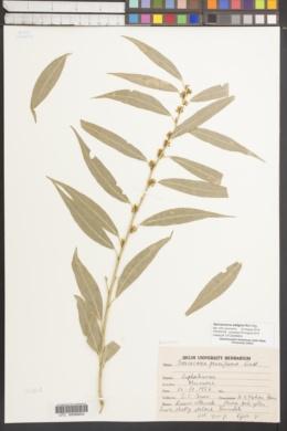 Image of Sarcococca saligna