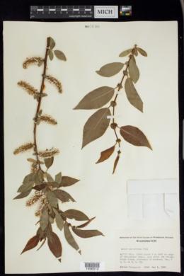 Image of Salix monochroma