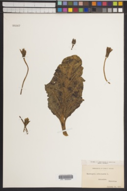 Image of Mandragora officinarum